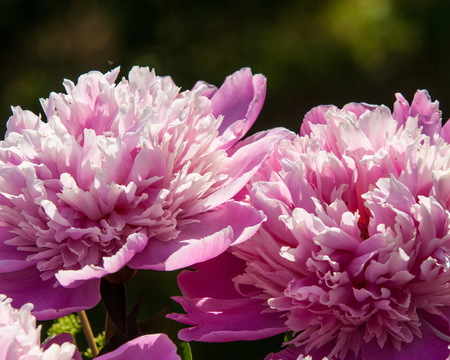peonies. a herbaceous or shrubby plant of north temperate regions, which has long been cultivated for its showy flowers.