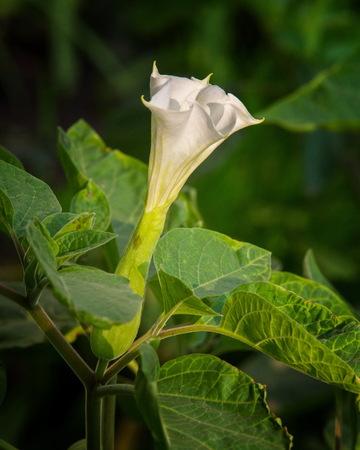 moonflower: Datura. dope,  stramonium, thorn-apple, jimsonweed.  Datura flowers photographed in the street