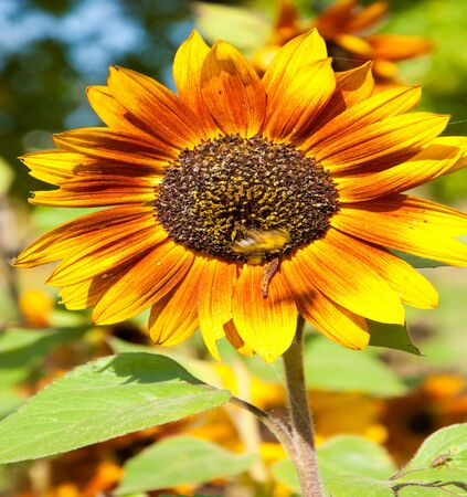 helianthus: sunflower, helianthus. a tall North American plant of the daisy family, with very large golden-rayed flowers. Sunflowers are cultivated for their edible seeds,