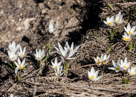 white crocus, snowdrop, a widely cultivated bulbous European plant that bears drooping white flowers during the late winter. Stock Photo