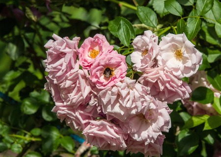 hybrid tea roses. Tea rose. a garden rose with flowers that have a delicate scent said to resemble that of tea.  A medium pink cluster-flowered hybrid tea that blooms repeatedly.