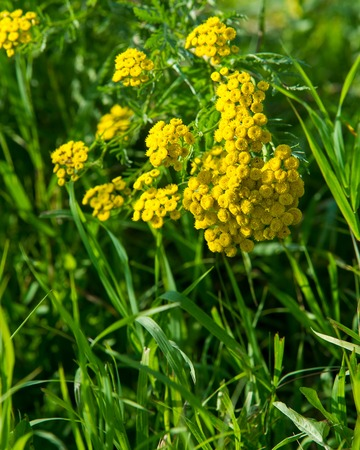 Tanacetum. tansy. a plant of the daisy family with yellow flat-topped buttonlike flower heads and aromatic leaves, formerly used in cooking and medicine.