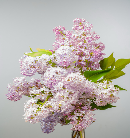 Spring. lilac flowers. Bunch of lilac flowers over white background with sample text. Spring flower, twig purple lilac. Syringa vulgaris.
