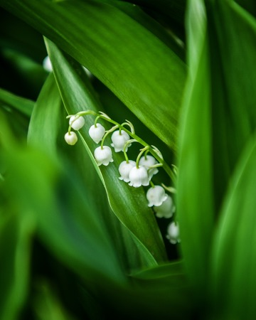 lily of the valley, may-lily. a widely cultivated European plant of the lily family, with broad leaves and arching stems of fragrant, bell-shaped white flowers. Stock Photo