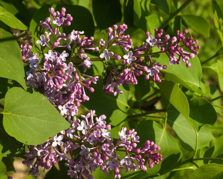 lilac flowers.  Large garden shrub with purple or white fragrant flowers. Stock Photo