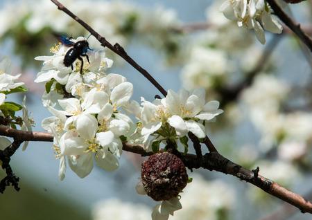 Apfel Blumen, Blüten Von Obstbäumen. Feder. Soft Bild Eines ...