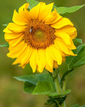 tn  tennessee: sunflower, helianthus. Endangered Species Act. They grow to six feet tall and are primarily found in woodlands Foto de archivo