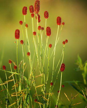 sanguisorba: Sanguisorba officinalis. great burnet.