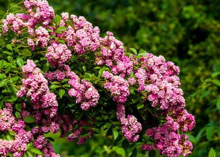 hybrid tea roses.