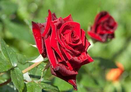 rose flower. a prickly bush or shrub that typically bears red, pink, yellow, or white fragrant flowers, native to north temperate regions.