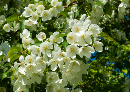 apple flowers. spring flowers. Soft image of a blossoming tree Stock Photo