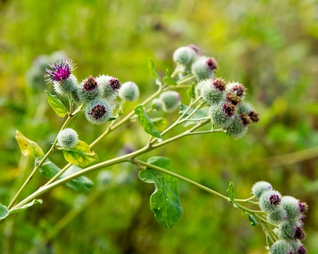 bracts: Arctium lappa, burdock. a large herbaceous Old World plant of the daisy family. The hook-bearing flowers become woody burrs after fertilization and cling to animals coats for seed dispersal.