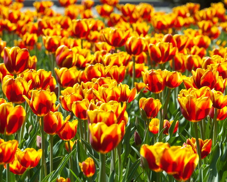 tulips. a bulbous spring-flowering plant of the lily family, with boldly colored cup-shaped flowers.