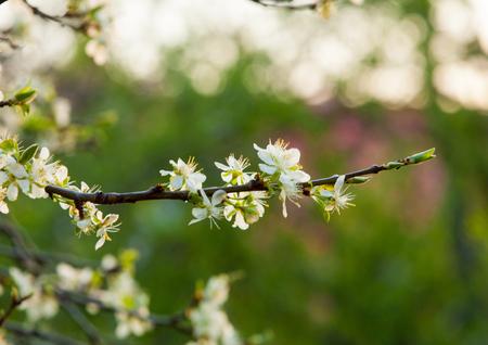 apple flowers. Stock Photo