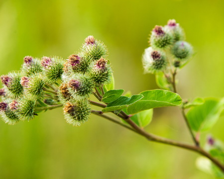 herbaceous: Arctium lappa, burdock. a large herbaceous Old World plant of the daisy family. The hook-bearing flowers become woody burrs after fertilization and cling to animals coats for seed dispersal.