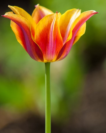 tulips close, tulips cute, tulips, beautiful tulips, colorful tulips, green tulips petals amazing tulips. Flower tulips background. Beautiful view of orange tulips & sunlight. tulips, field of tulips,