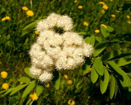Flowers rowan. lowering rowan in spring time. White flowers of the rowan tree. Stock Photo