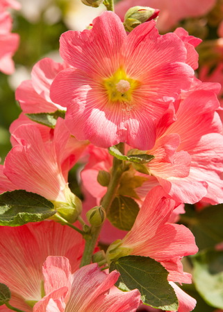 mallow. a herbaceous plant with hairy stems, pink or purple flowers, and disk-shaped fruit. Several kinds are grown as ornamentals, and some are edible.