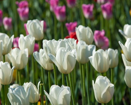 Tulips. Bulbous plant seeds. lily flowers with large, cup-shaped.  Beautiful bouquet of tulips. colorful tulips. tulips in spring.