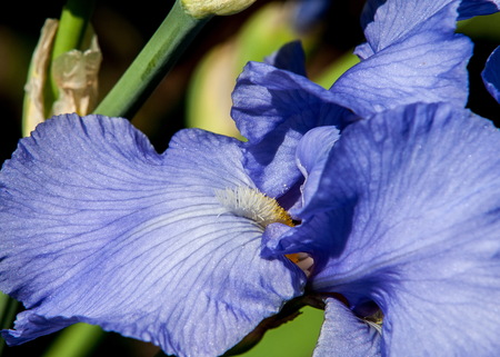 Blue flower irises- nature spring sunny background. Soft focus with bokeh.
