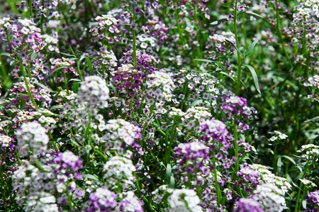 Lobularia is a genus of five species of flowering plants in the family Brassicaceae, closely related to (and formerly often included in) the genus Alyssum
