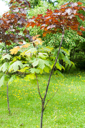 Summer landscape. Maple with red leaves. Leaves of Korea Maple, Acer palmatum Atropurpureum. Dark red peach azer,