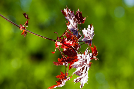 Acer rubrum red maple, also known as swamp, water or soft maple, is one of the most common and widespread deciduous trees in eastern and central North America. Stock Photo