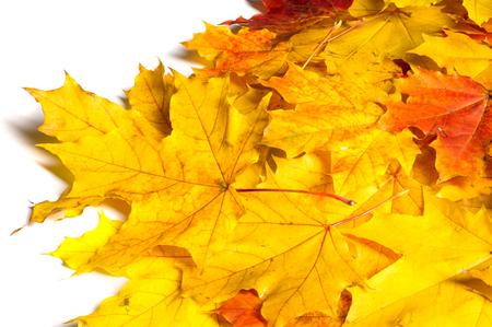 Texture, background, pattern. Autumn maple leaves. Background of maple leaves. Red and yellow maple leaves Autumn advance; Autumn motive