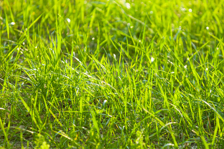 Texture, background, pattern. Grass illuminated by the sun, backlight