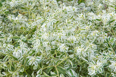 Texture background. Euphorbia marginata commonly known as snow-on-the-mountain, smoke-on-the-prairie, variegated spurge, or white margined spurge is a small annual in the spurge family