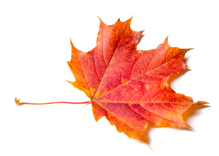Studio photo, Leaves of autumn. Maple leaves. yellow red green. This photo will decorate your design. You will be the first again. Happy Golden Autumn!