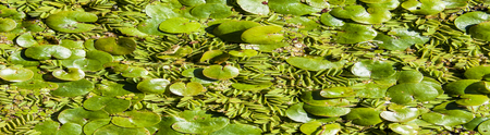 Texture, background, vegetation on the water. Duckweed in the summer.  a tiny aquatic flowering plant that floats in large quantities on still water, Stock fotó