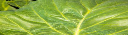 Texture cabbage leaf. Photography Studio Stock Photo