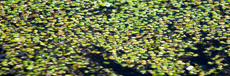 A picture of a swamp, Tina, duckweed. A tiny aquatic flowering plant that floats in large quantities on still water, often forming an apparent continuous green layer on the surface. Stock Photo