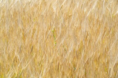 Summer photography. The wheat field, the cereal plant, which is the most important species grown in temperate countries, the grain of which is crushed to make flour for bread, pasta, confectionery Фото со стока