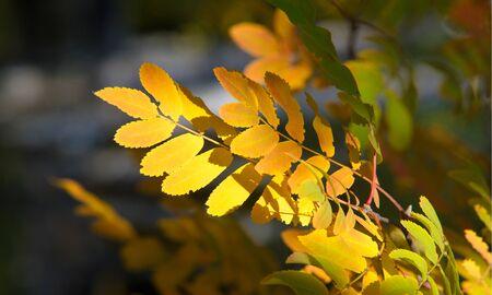 Fotografía de paisajes otoñales, fresno de montaña en toda su belleza, iluminado por los colores del otoño. Un árbol con frutos en forma de racimo de bayas de color rojo anaranjado, así como la mayoría de las bayas. Foto de archivo
