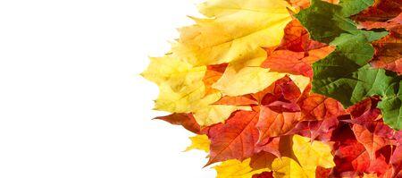 foglie di acero rosse e gialle su sfondo bianco. Quando le foglie cambiano colore dal verde al giallo, all'arancione brillante o al rosso, imparerai che gli alberi iniziano il loro lungo riposo invernale.