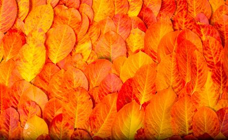 texture, background, pattern, autumn leaves, bright saturated colors, trees are amazingly beautiful in autumn, nature says goodbye to warm summer days