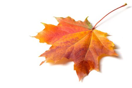 Autumn painting, Autumn maple leaves, Solitary leaf on white background
