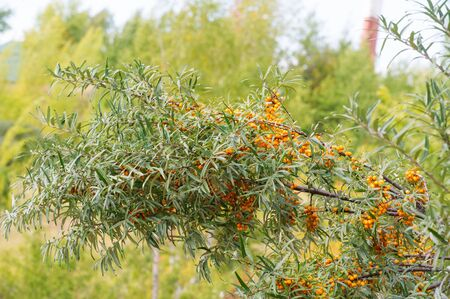 sea buckthorn. Different parts of sea buckthorn have been used as folk medicine, Berry oil, either taken orally as a dietary supplement or applied topically, is believed to be a skin softener Stockfoto