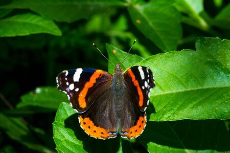 Vanessa atalanta, the red admiral or previously, the red admirable, is a well-characterized, medium sized butterfly with black wings, orange bands and white spots. It has a wingspan of about 2 inches Stock Photo