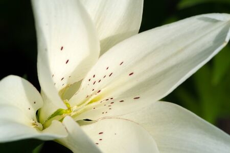 Lilium members of which are true lilies is a genus of herbaceous flowering plants growing from bulbs, all with large prominent flowers. Lilies are a group of flowering plants that are important