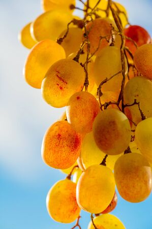 Grapes can be eaten fresh as table grapes or they can be used for making wine, jam, juice, jelly, grape seed extract, raisins, vinegar, and grape seed oil. Grapes are a non-climacteric type of fruit Stock fotó