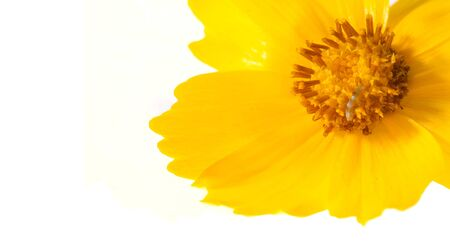 Blume für das Blumenbeet, gelb Cosmos ist eine Gattung mit dem gleichen gebräuchlichen Namen wie Kosmos, bestehend aus Blütenpflanzen der Familie der Sonnenblumen