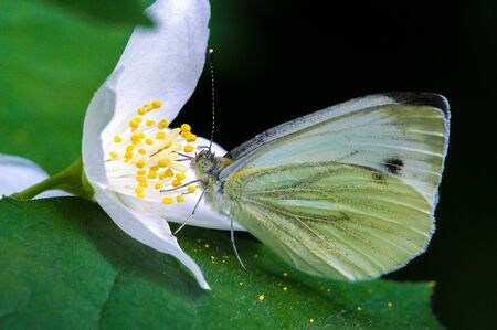 Philadelphus They are named mock-orange in reference to their flowers, Citrus at first glance,flowers and jasmine Jasminum. Butterfly Pieris brassicae, the large white cabbage, cabbage white, moth.