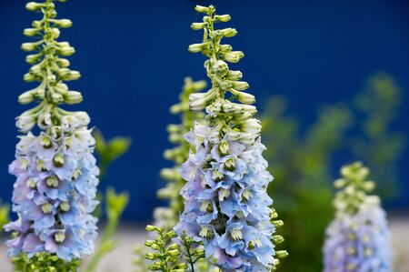 Delphinium is a genus of about 300 species of perennial flowering plants in the family Ranunculaceae, native throughout the Northern Hemisphere and also on the high mountains of tropical Africa.