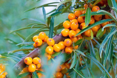 Espino cerval. Se han utilizado diferentes partes del espino amarillo como medicina popular, se cree que el aceite de baya, ya sea por vía oral como suplemento dietético o aplicado tópicamente, es un suavizante de la piel.