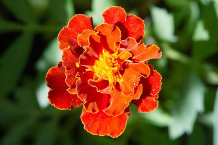 The species Tagetes lucida, known as pericones, is used to make sweet, flavored aniseed medicinal tea in Mexico. It is also used as a culinary as a Texan tarragon, a Mexican meat nail