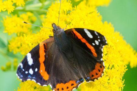 Solidago, commonly called goldenrods,  used in a traditional kidney tonic by practitioners of herbal medicine to counter inflammation. butterfly Vanessa atalanta, the red admiral Stok Fotoğraf