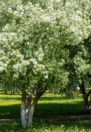 Apple Flowers, Apple blossom. in the sunshine over natural green background. tree white blossoms in Spring. Stock Photo
